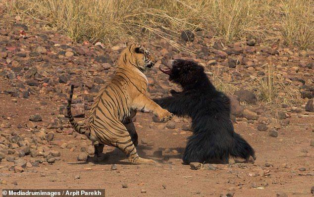 印度一名攝影師近日在托多巴安達里老虎保育區內,驚見一場熊與老虎的「世紀大對決」。Arpit Parekh