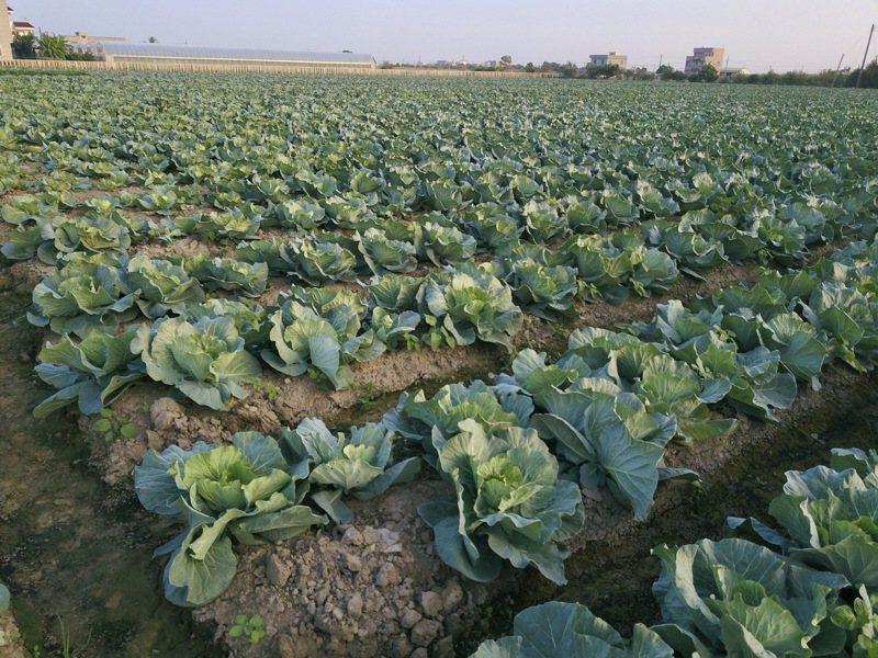 現在正值冬季裡作期間,由於氣候涼爽,適合蔬菜生長,農民近期連續種植冬季大宗蔬菜,以應農曆春節前年菜需求,已連續兩旬爆量耕種,農糧署發出紫燈示警,請農民「麥擱種啊」。本報資料照片