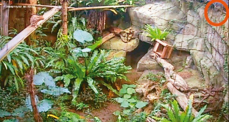 石虎「飛飛」從紅圈挖洞溜走,左邊的另一隻石虎目睹整個脫逃狀況。 圖╱台北市立動物園提供