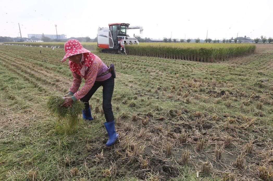 面對明年一期稻作停灌,嘉南農民說補償方案只能接受,停灌期間就當休息,圖為台南柳營...