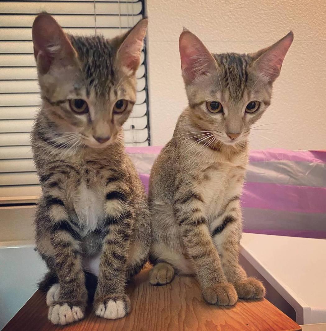 賈靜雯新領養了兩隻流浪貓。 圖/擷自賈靜雯臉書
