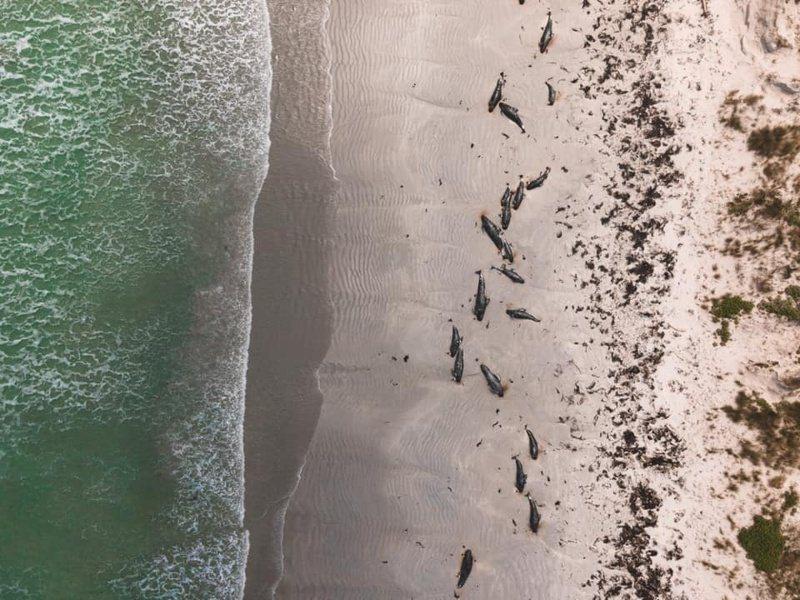 紐西蘭查塔姆群島爆大規模鯨豚擱淺事件。路透