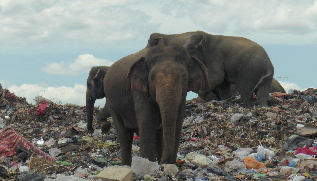 斯里蘭卡(Sri Lanka)東部一處垃圾掩埋場,靠近當地野生大象的棲息地,每天...