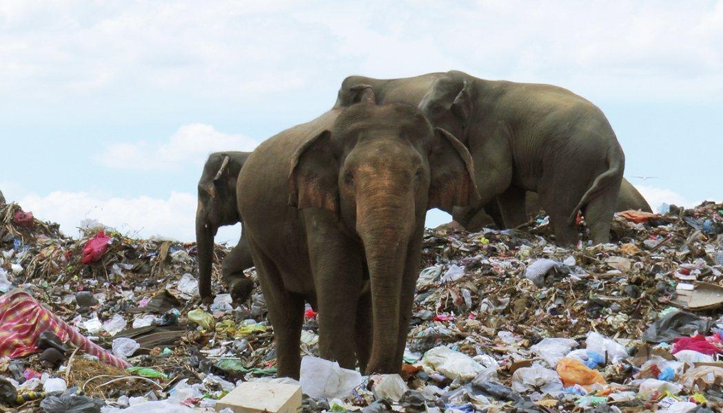 斯里蘭卡東部安帕賴(Ampara)的垃圾掩埋場,近年出現了一批令人心痛的「不速之...