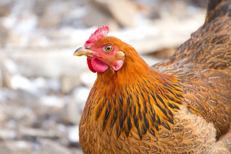 比利時西弗蘭德省(West Flanders)一處肉雞場爆發禽流感疫情,農委會防...