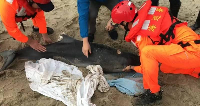 小抹香鯨擱淺萬里沙灘救援將野放,有鯊魚咬痕跡。記者游明煌/翻攝