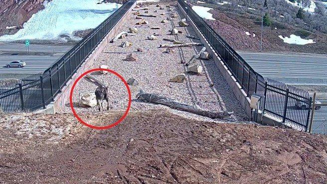 猶他州野生動植物資源局在80號州際公路上建造了這座「動物天橋」,以減少野生動物在帕雷峽谷造成的交通事故,成效顯著。FACEBOOK/Utah Division of Wildlife Resources