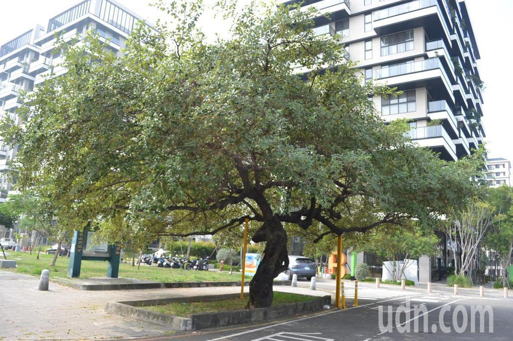 台南水交社文化園區旁有棵近百年棗樹,有建設公司以此老樹吸引民眾看屋、購屋。記者鄭...