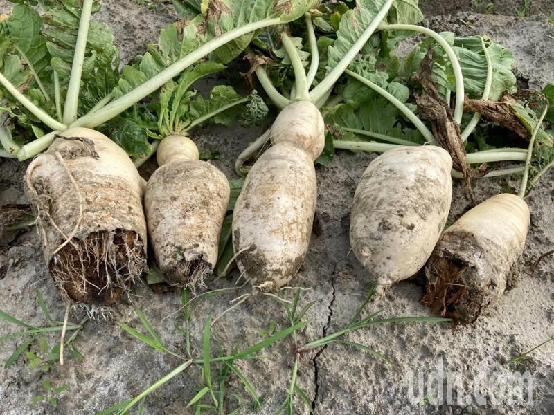 台南市安南區蘿蔔災損嚴重。圖/農業局提供
