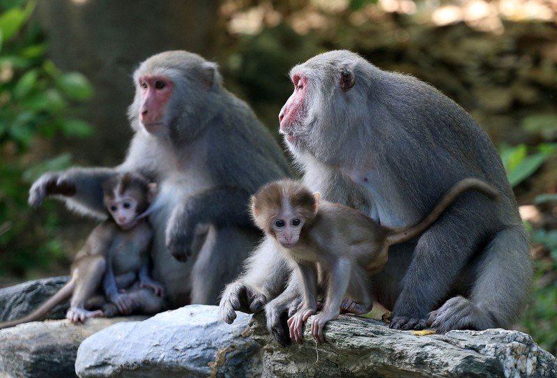 台灣獼猴成為一般野生動物之後, 人猴衝突和遭傷害之事頻傳。圖/本報資料照片