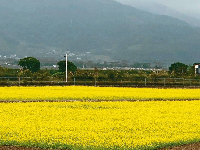 農糧署東區分署準備40公噸油菜花種子,免費提供農友,預計播種面積可達6600公頃。圖/農糧署東區分署提供