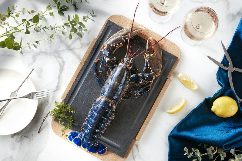 台北喜來登飯店特地引進被喻為「龍蝦界藍寶堅尼」的布列塔尼藍龍蝦,平均捕撈的機率為200萬分之一。 圖/台北喜來登飯店提供
