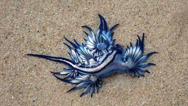 南非婦人發現沙灘上有個長相奇特的生物,有著藍色的背部跟白色腹部,全長不到3公分。圖/取自mirror