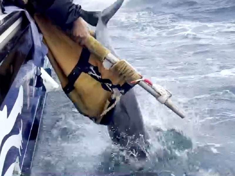 擱淺的小抹香鯨,經鉅隆號娛樂漁業漁船協助載往外海實施野放。 圖/紅樹林有線電視提供