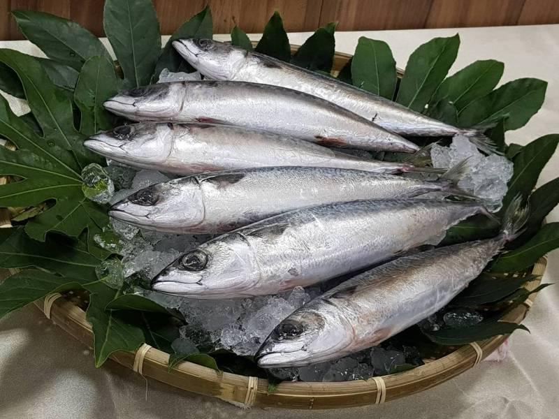 台灣四周海域有花腹鯖魚、白腹鯖魚兩種。記者彭宣雅/攝影