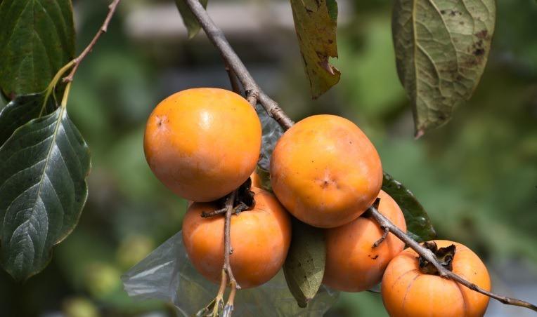 毛柿果子全為細毛包裹,但是取食果肉不是問題。我將撿到的毛柿在石頭上磨蹭,刨光表皮...