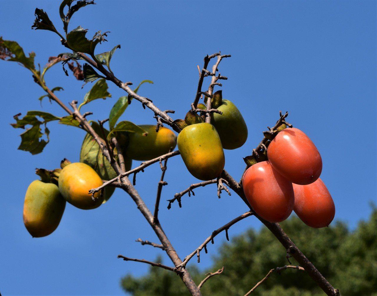 製作柿餅的澀柿還有石柿和日本引進的筆柿。(圖為筆柿) 圖/沈正柔 提供