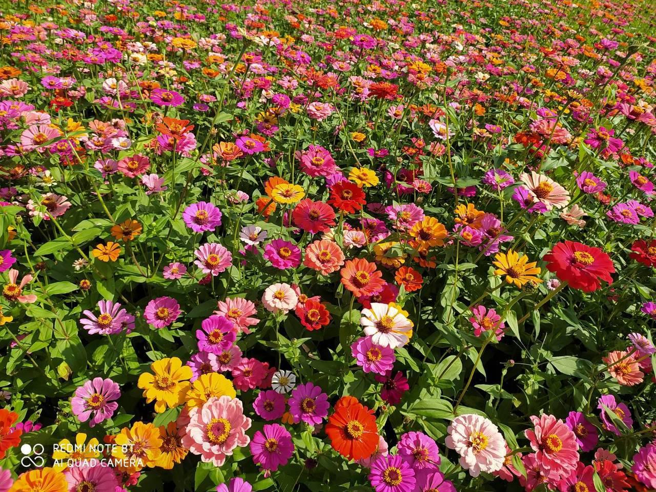 11月是百日菊季節,走在步道上,但見花朵隨著吹過樹隙的風起舞,一波波像極了推向岸...