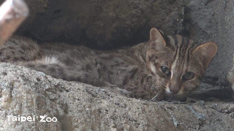 動物園內的3歲母石虎逃脫。圖/台北市立動物園提供