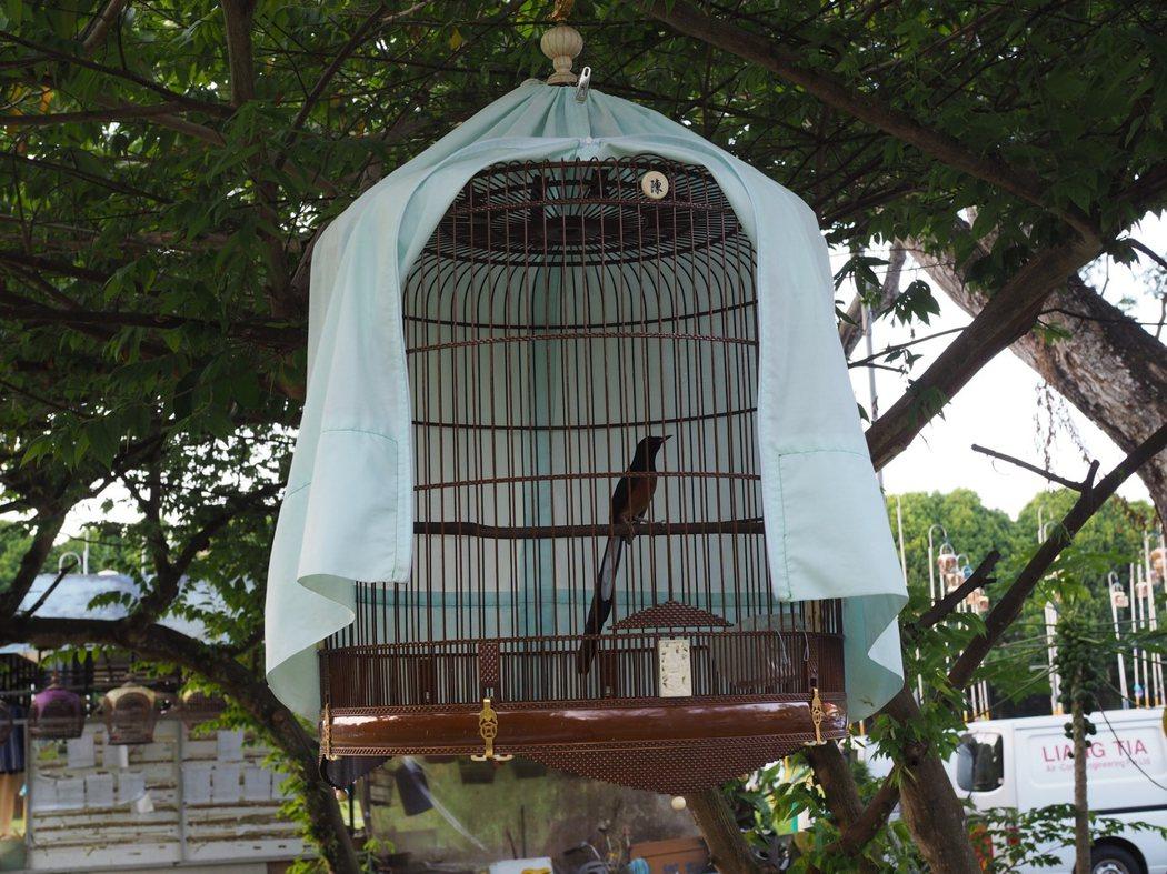 鸟主在移动鸟儿的时候都会把鸟笼遮盖起来,如此一来鸟儿便不知道发生什么事,也就不会感到害怕。