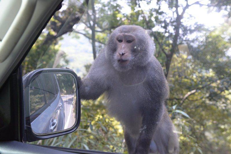 陽明山野生獼猴攀附在車窗旁,主動向人類乞食。圖/陽管處提供