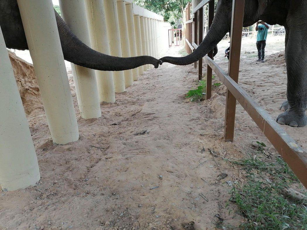 「四爪國際」的志工拍到卡萬與另一隻保護區內的大象用鼻子問候的畫面,相當溫馨。路透