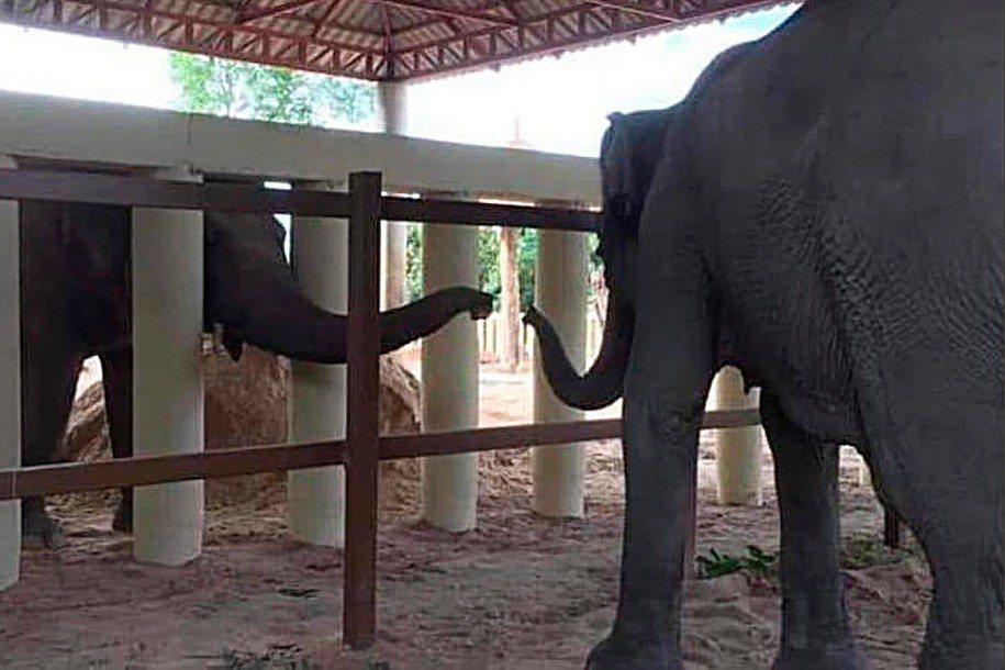 卡萬1日在野生動物保護區伸出牠的鼻子問候其他大象,這是牠八年來首度與同類接觸。F...