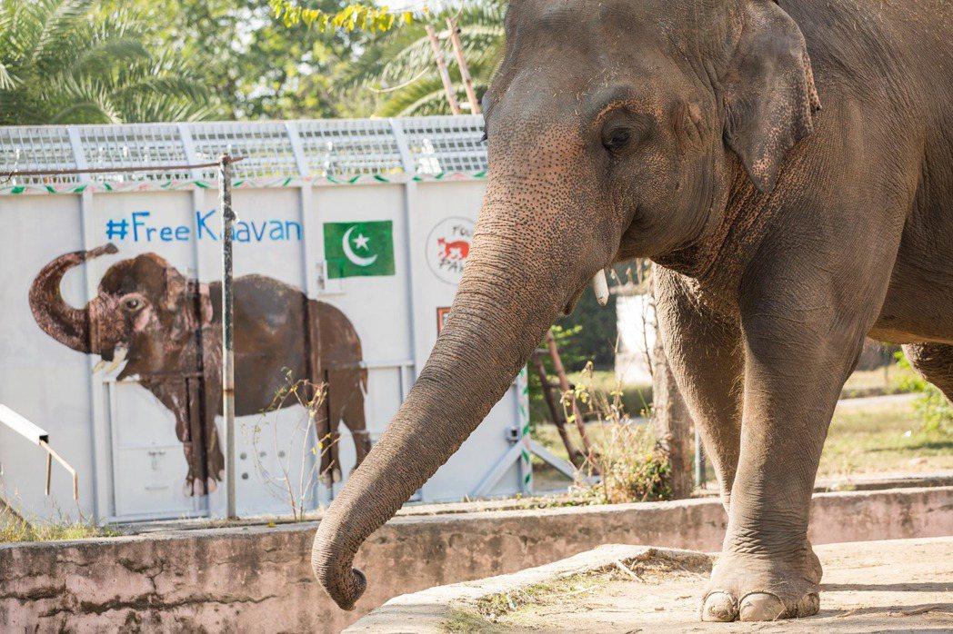 有「世上最寂寞大象」之稱的巴基斯坦動物園受虐老象卡萬,脫離苦海移居柬埔寨安養天年...