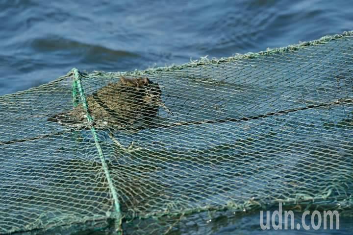 冬候鳥磯鷸受困蟹網中,隨著水位上升,磯鷸慌張鳴叫狀況危急。圖/拍鳥俱樂部提供