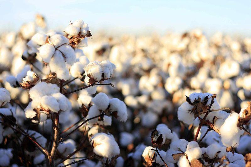國土安全部宣布,美國海關與邊境保護局貿易辦公室對新疆生產建設兵團生產的棉花製品發出暫扣令,所有美國入境口岸都將扣留來自這家公司的所有棉花和棉花製品貨品。圖擷自維基百科