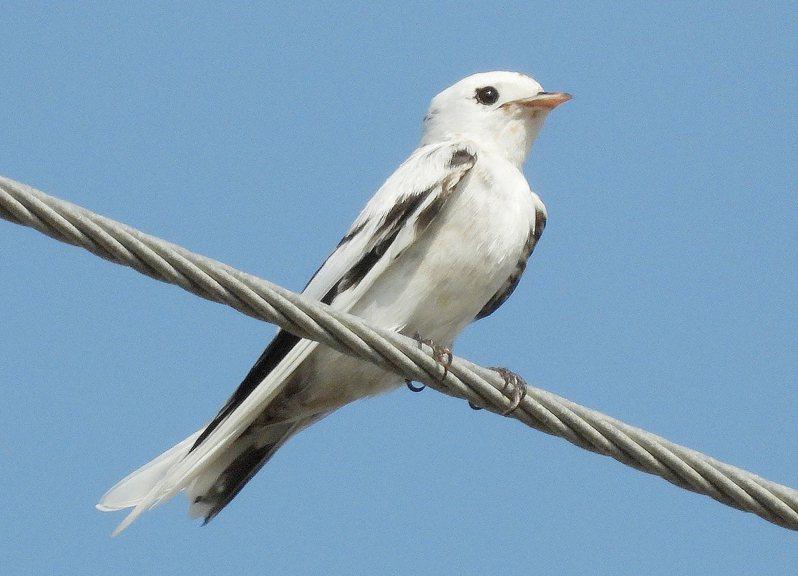 台南冬候鳥群集,沿海出現數以百計的燕子,鳥友日前在安南區安順大排發現一隻「白化」洋燕,十分罕見。(翁育民提供)中央社