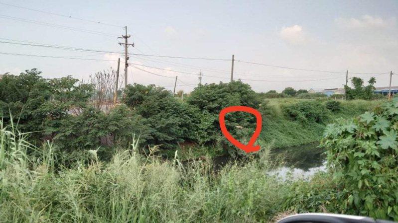 彰化縣二林溪溪畔樹上有綠鬣蜥,體長逾一公尺。圖/縣政府提供