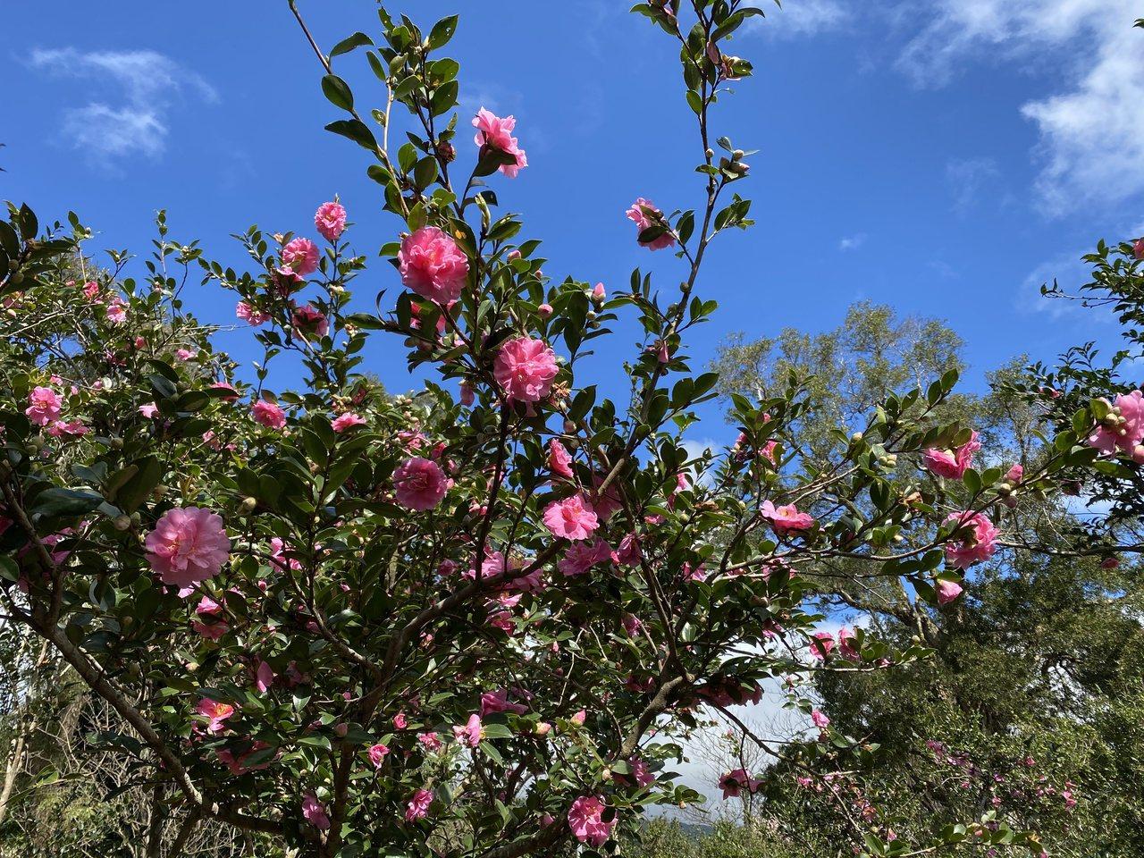 花卉試驗中心園區著名的茶花開始綻放。 圖/楊正海 攝影