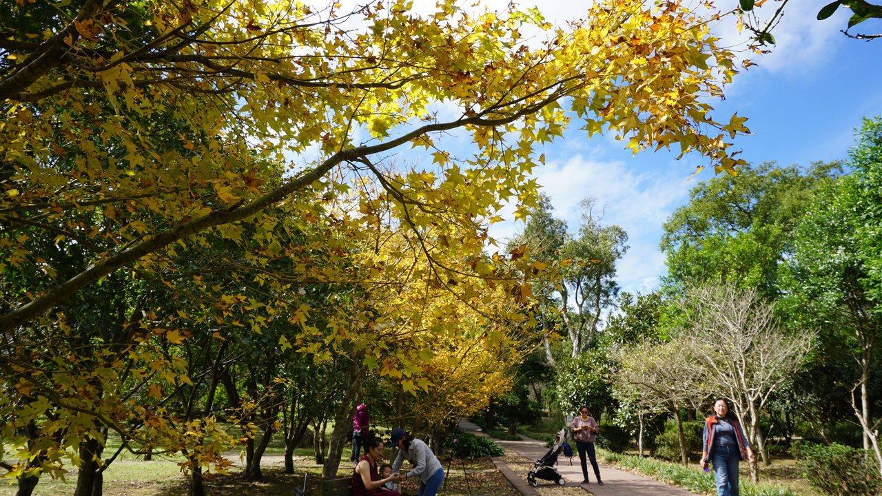 座落在陽明山區的台北市花卉試驗中心,園內的楓樹開始換裝。 圖/楊正海 攝影