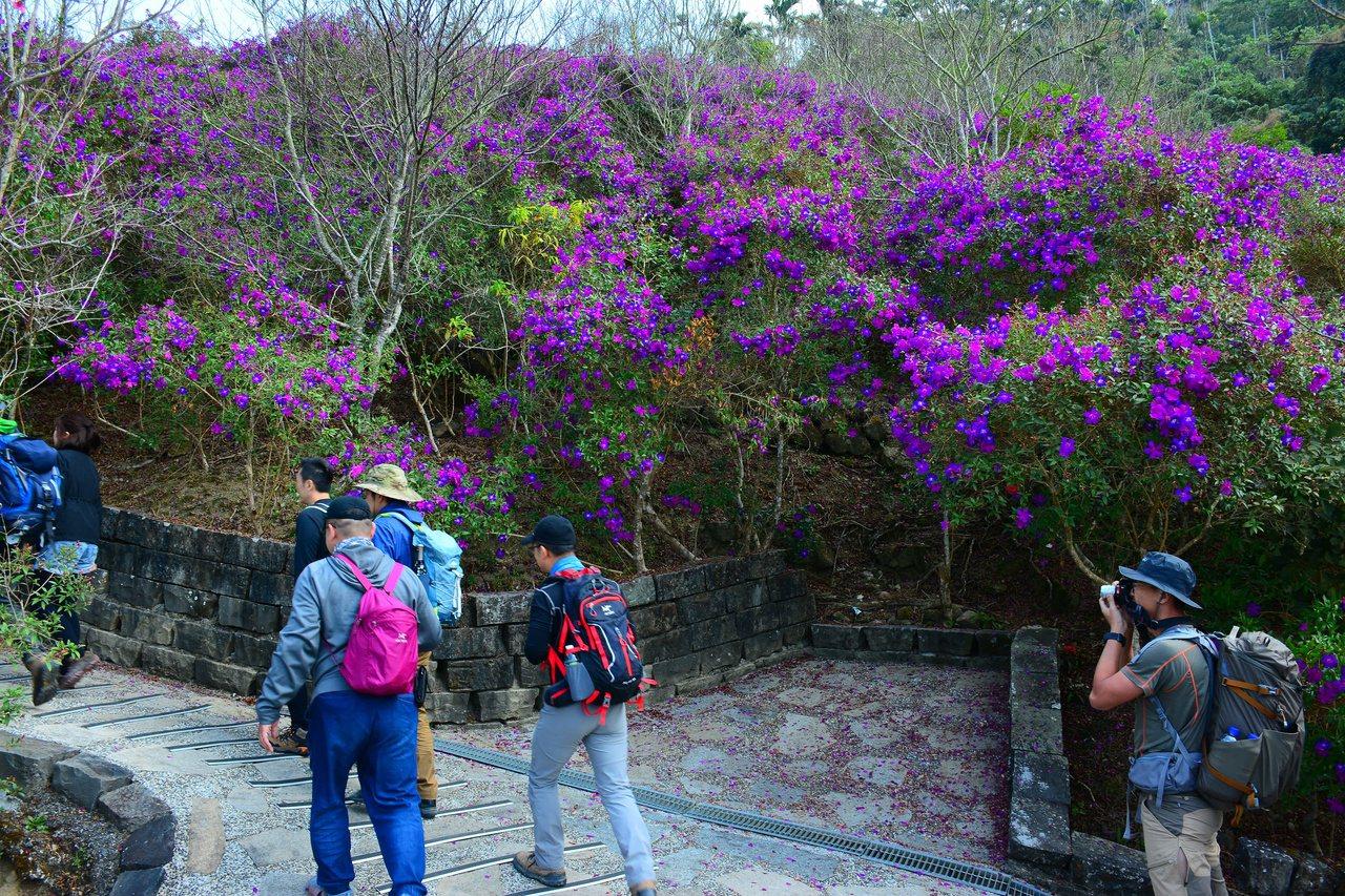 台南楠西梅嶺數萬株紫牡丹盛開,吸引遊客踏青。 圖/吳淑玲 攝影