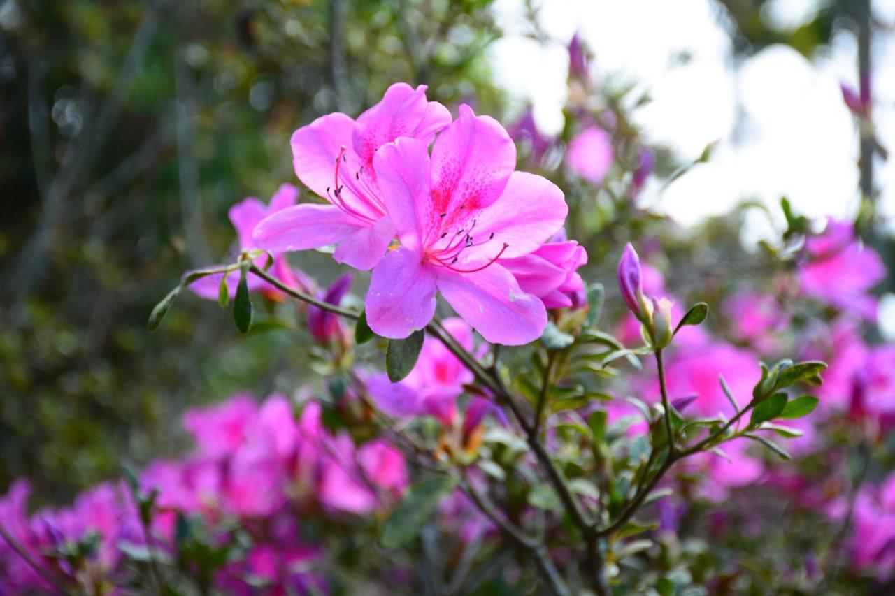 台南楠西梅嶺數千株杜鵑花也提前盛開。 圖/吳淑玲 攝影