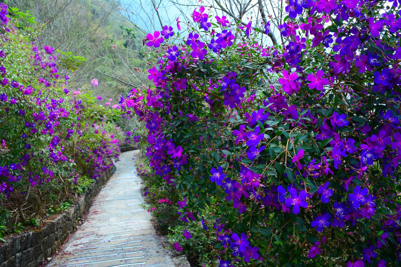 台南楠西梅嶺數萬株紫牡丹盛開,形成花海步道。 圖/吳淑玲 攝影
