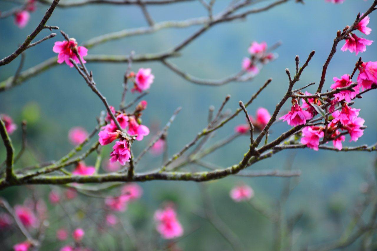 台南楠西梅嶺栽種的山櫻花也盛開了。 圖/吳淑玲 攝影