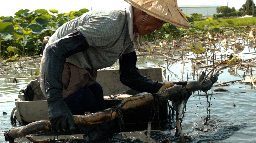 農夫身上綁著一艘小塑膠筏,穿越半個人高的蓮花葉叢,行走水塘間採收蓮藕。圖/賴麗君...