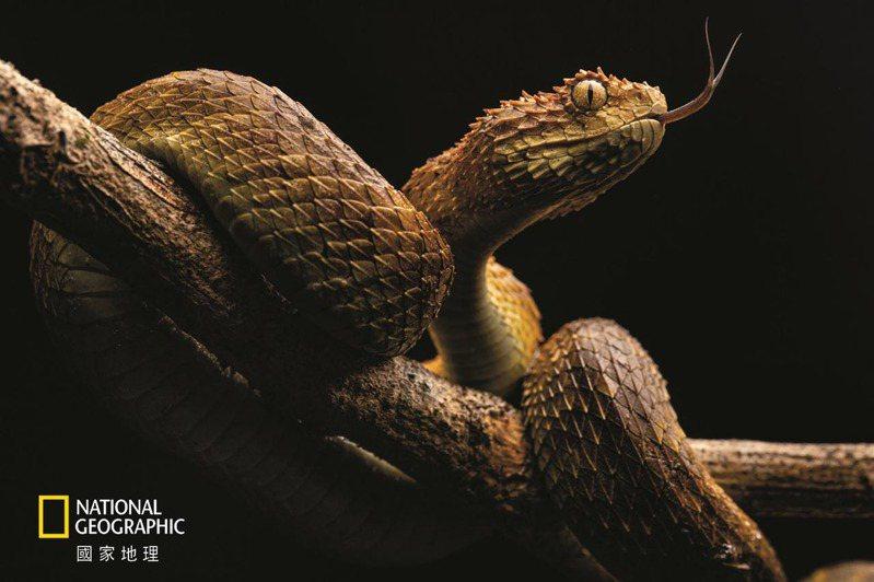 一條樹蝰吞吐蛇信,嗅聞周圍的環境。在撒哈拉以南非洲地區,毒蛇每年造成約3萬人死亡,但許多 死亡並沒有留下紀錄,實際數字有可能是這個數字的兩倍。 攝影: 托馬斯. 尼科隆 T H O M A S N I C O LO N