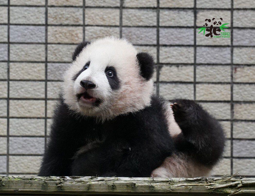 圓寶預計在元旦正式亮相與大家見面,快來一睹可愛貓熊的模樣。 圖/台北市立動物園提...