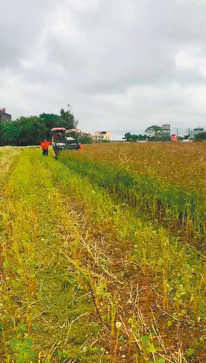 桃竹苗一期稻作休耕可能性高,農民建議政府可以考量提高低耗水農作面積,如種植蕎麥。記者鄭國樑/攝影
