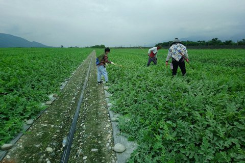 「囝仔人劇團」來到農村與瓜農一起耕作發展創作。 圖/豐田移創所提供