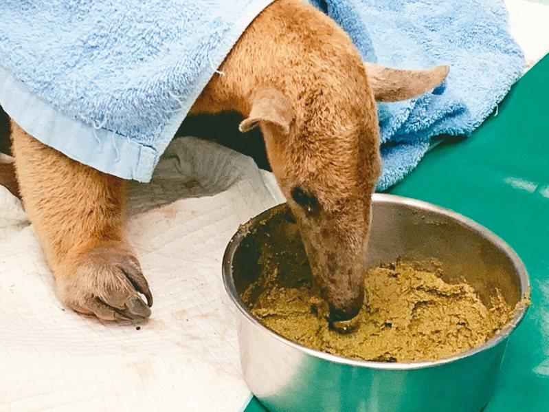 「小紅」治療同時,保育員也將人工食糧送至檢疫舍讓牠享用。 圖/台北市立動物園提供