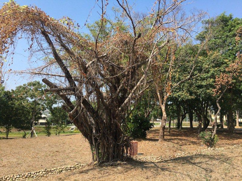 社頭清水岩溫泉露營區將進行染病樹木移除及防治。圖/彰縣府城觀處提供
