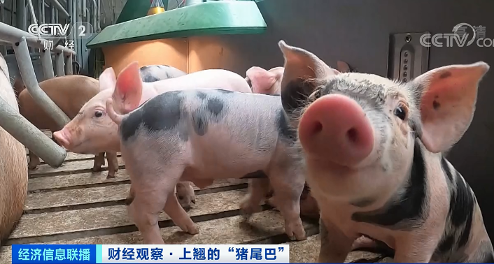 大陸地產企業跨界不斷,多家房企打起了養豬主意。圖/取自央視新聞