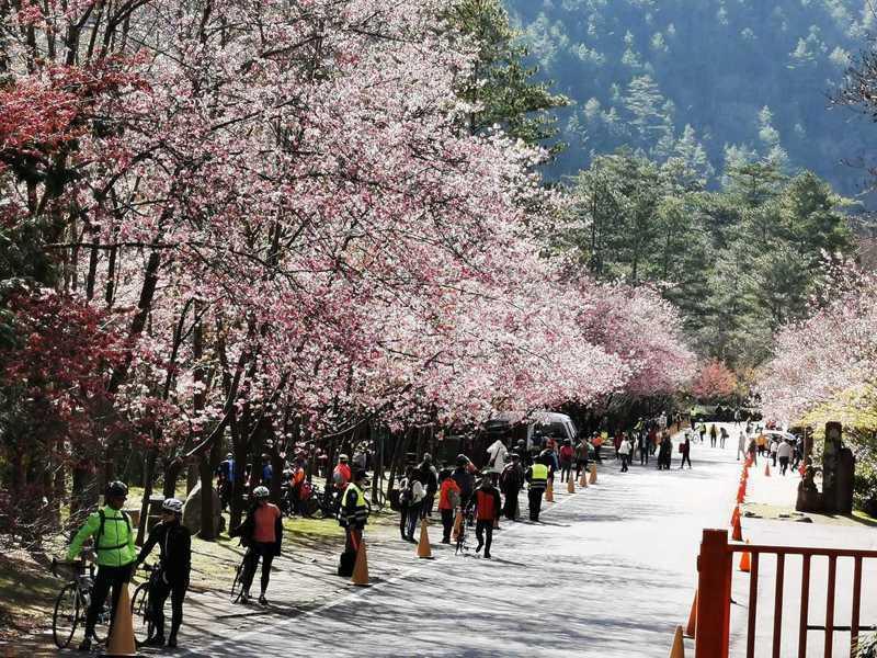 2020年武陵櫻花季。圖/雪霸國家公園管理處提供
