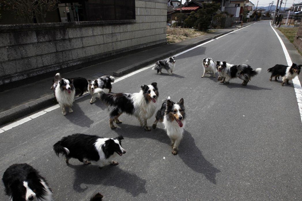 震災後的福島,大量犬隻從寵物園脫逃。 圖/美聯社