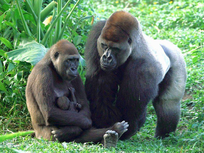 Tayari與Iriki正在照看金剛猩猩寶寶。圖/台北市立動物園提供