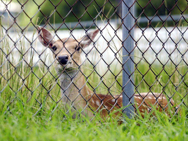 梅花鹿復育雖成功,但是否該回歸自然棲地,卻成兩難問題。圖/聯合報系資料照片